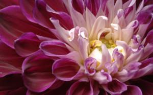 紫のダリア